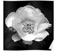 Black And White Peony Flower Poster