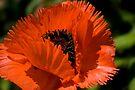 Oriental Poppy Orange Poppy by LudaNayvelt