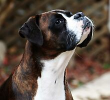 Something In the Air -Boxer Dogs Series- by Evita