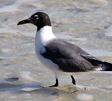Least Tern by jaeepathak