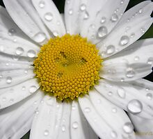 After the Rain - Daisy II by Carol Hathaway