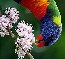 Rainbow Lorikeet 2 by footsiephoto