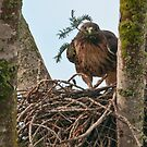 Red Tailed Hawk Lining His Nest by David Friederich