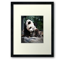 Adelaide Zoo's Wang Wang Framed Print
