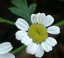 White Daisy, suburban Ballarat Garden by flowergarden