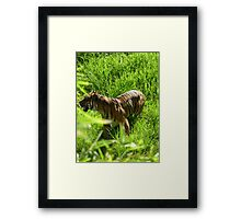 Waiting Tiger - Dubbo Western Plains Zoo Framed Print