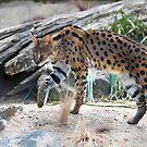 Leptailurus Serval by Bill  Robinson