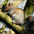 Tree Squirrel by Kevin Cotterell