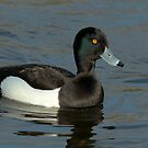 Male Tufted Duck (close up) by Robert Abraham