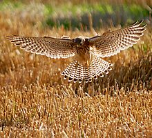 Kestrel on the hunt by sandmartin