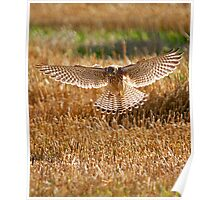 Kestrel on the hunt Poster