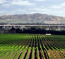 Vineyards, Marlborough, New Zealand by paultclarke