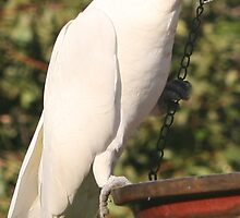 Sulpher Crested Cockatoo by CabrioletMan