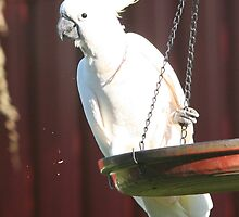 Sulpher Crested Cockatoo 2 by CabrioletMan