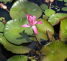 Pink Waterlilies at Mt.Coot-tha by Virginia McGowan