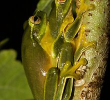 Graceful Tree Frogs by ConnieKerr