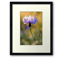 Wild Cornflower Framed Print