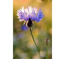 Wild Cornflower Photographic Print
