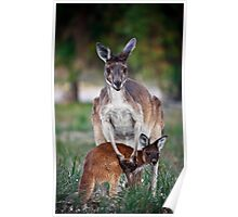 Mother and Joey - Kangaroos of Western Australia Poster