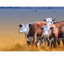 Cows in the grass Photographic Print