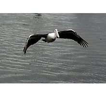 pelican in flight Photographic Print