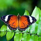 Orange Lacewing by Jenny Dean