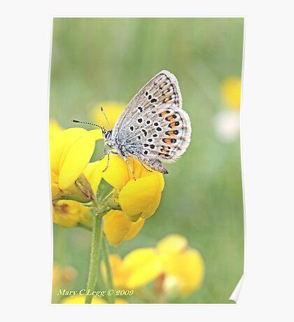 Silver-studded Blue, Plebejus argus Poster