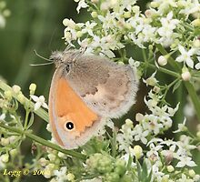 Small Heath Coenonympha pamphilus by pogomcl