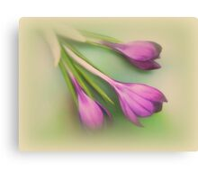 Three times a crocus Canvas Print
