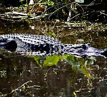 Sunning Gator by phil decocco