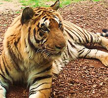 Resting Tiger by MichelleRees
