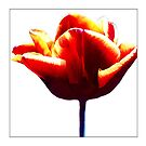 Tulip #1 - Postcard by Michelle Bush