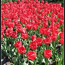 Red Army - Keukenhof Tulips by BlueMoonRose