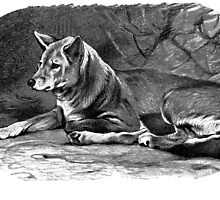 Black and white illustration of the Dingo by marmur