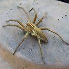 Garden Spider.... Pisaura mirabilis by AnnDixon