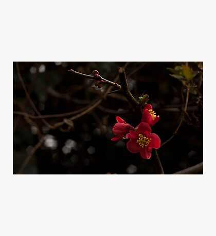 Quince, Red Flowering Photographic Print