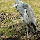 Second Year Grey Heron by Robert Abraham
