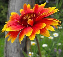 Blanket Flower-Asteraceae-Gaillardia  by Tracy Faught