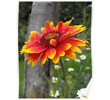 Blanket Flower-Asteraceae-Gaillardia  Poster