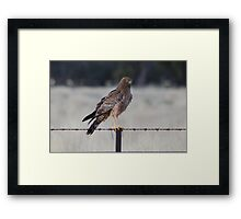 Spotted Harrier Framed Print