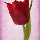 red tulip by OldaSimek
