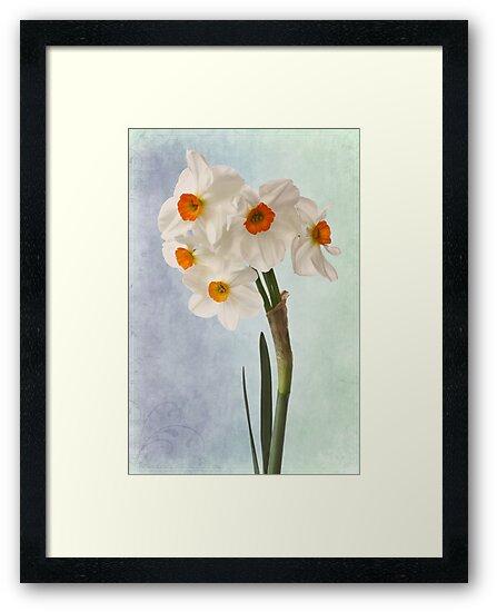white daffodils by OldaSimek