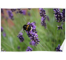 Lavender Bumble Bee Poster