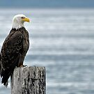 Fishing Pole - American Bald Eagle by Barbara Burkhardt
