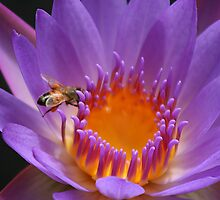 water lilly with bee by footsiephoto
