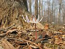Trout Lily by NatureGreeting Cards ©ccwri
