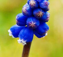 Grape Hyacinth by Susie Peek