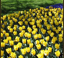 Sunshine Yellow Tulips in the Keukenhof Gardens, Holland by BlueMoonRose