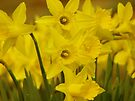 Spring Yellow by NatureGreeting Cards ©ccwri