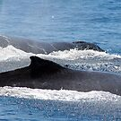 two whales by footsiephoto